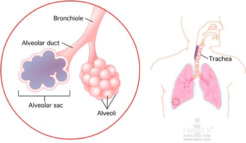 alveolar_sac